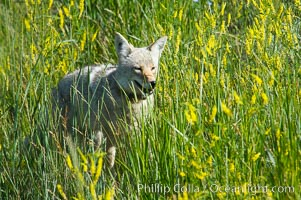 Coyote, Lamar Valley.  This coyote bears not only a radio tracking collar, so researchers can follow its daily movements, but also a small green tag on its left ear, Canis latrans, Yellowstone National Park, Wyoming