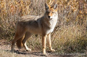 Coyote moves through low-lying bushes and sage, Canis latrans, Yellowstone National Park, Wyoming