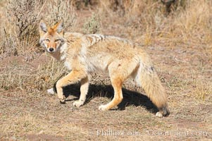 Coyote, Canis latrans, Yellowstone National Park, Wyoming