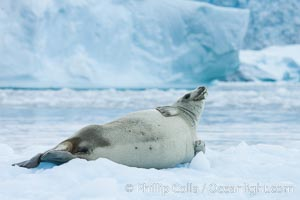 A crabeater seal, hauled out on pack ice to rest.  Crabeater seals reach 2m and 200kg in size, with females being slightly larger than males.  Crabeaters are the most abundant species of seal in the world, with as many as 75 million individuals.  Despite its name, 80% the crabeater seal's diet consists of Antarctic krill.  They have specially adapted teeth to strain the small krill from the water. Cierva Cove, Antarctic Peninsula, Antarctica, Lobodon carcinophagus, natural history stock photograph, photo id 25577