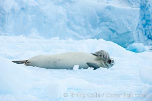A crabeater seal, hauled out on pack ice to rest.  Crabeater seals reach 2m and 200kg in size, with females being slightly larger than males.  Crabeaters are the most abundant species of seal in the world, with as many as 75 million individuals.  Despite its name, 80% the crabeater seal's diet consists of Antarctic krill.  They have specially adapted teeth to strain the small krill from the water, Lobodon carcinophagus, Cierva Cove