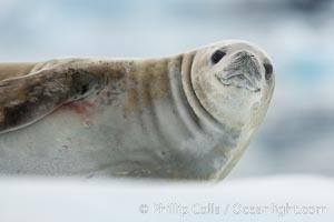 A crabeater seal, hauled out on pack ice to rest.  Crabeater seals reach 2m and 200kg in size, with females being slightly larger than males.  Crabeaters are the most abundant species of seal in the world, with as many as 75 million individuals.  Despite its name, 80% the crabeater seal's diet consists of Antarctic krill.  They have specially adapted teeth to strain the small krill from the water, Lobodon carcinophagus, Neko Harbor