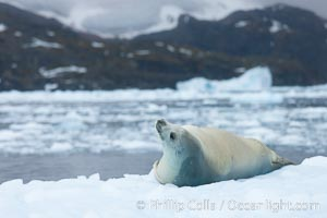 Crabeater seal resting on pack ice.  Crabeater seals reach 2m and 200kg in size, with females being slightly larger than males.  Crabeaters are the most abundant species of seal in the world, with as many as 75 million individuals.  Despite its name, 80% the crabeater seal's diet consists of Antarctic krill.  They have specially adapted teeth to strain the small krill from the water. Cierva Cove, Antarctic Peninsula, Antarctica, Lobodon carcinophagus, natural history stock photograph, photo id 25580