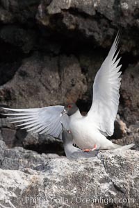 Swallow-tailed gull, mating, male on top, female just visible below, Creagrus furcata, Wolf Island