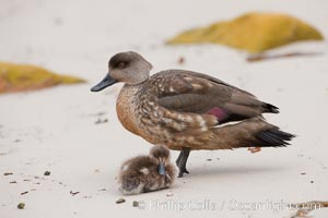 Patagonian crested duck, adult and chick on sand beach.  The crested dusk inhabits coastal regions where it forages for invertebrates and marine algae.  The male and female are similar in appearance, Lophonetta specularioides, New Island