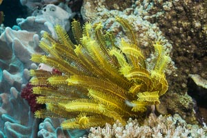 Crinoid, or Feather Star, on Coral Reef, Fiji, Crinoidea, Makogai Island, Lomaiviti Archipelago