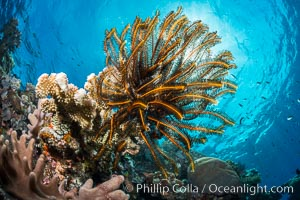 Crinoid (feather star) extends its tentacles into ocean currents, on pristine south pacific coral reef, Fiji. Vatu I Ra Passage, Bligh Waters, Viti Levu  Island, Fiji, Crinoidea, natural history stock photograph, photo id 31317