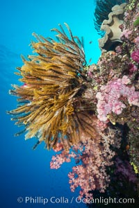 Crinoid (feather star) extends its tentacles into ocean currents, on pristine south pacific coral reef, Fiji, Crinoidea, Namena Marine Reserve, Namena Island