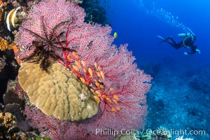 Crinoid, gorgonian sea fan, anthias fish and diver, Fiji, Crinoidea, Gorgonacea, Pseudanthias, Bligh Waters