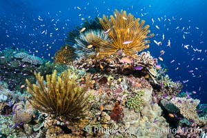 Crinoids (feather stars) on hard corals, with anthias fish schooling in ocean currents, Fiji, Pseudanthias, Crinoidea, Wakaya Island, Lomaiviti Archipelago