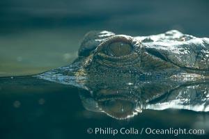 African slender-snouted crocodile, Crocodylus cataphractus
