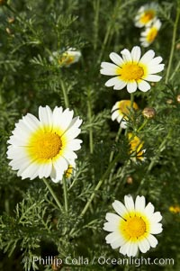 Crown daisy blooms in Spring, Chrysanthemum coronarium, San Diego, California