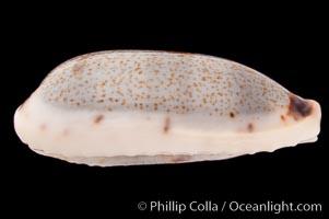 Cylindrical Cowrie, Cypraea cylindrica