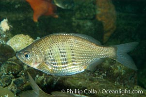Shiner perch., Cymatogaster aggregata, natural history stock photograph, photo id 08919