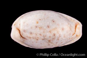 Cypraea boivinii amoena, Cypraea boivinii amoena