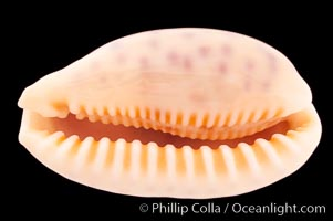 Chinese Cowrie, Cypraea chinensis