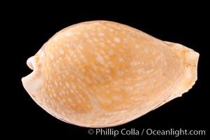 Millet Cowrie, Cypraea miliaris