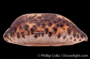 Turtle Cowrie, Cypraea testudinaria
