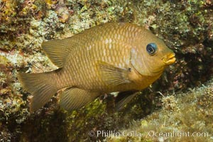 Unidentified damselfish, Sea of Cortez