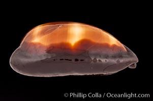 Dark Mole Cowrie, Cypraea talpa saturata