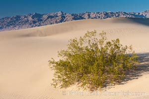 Sand Dunes, California.  Near Stovepipe Wells lies a region of sand dunes, some of them hundreds of feet tall.,  Copyright Phillip Colla, image #15576, all rights reserved worldwide.