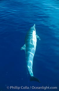 Pacific common dolphin, Delphinus delphis, San Diego, California