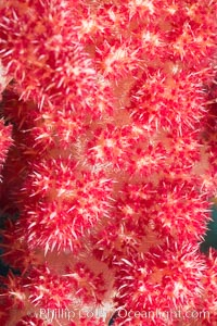 Dendronephthya soft coral detail including polyps and calcium carbonate spicules, Fiji, Dendronephthya, Makogai Island, Lomaiviti Archipelago