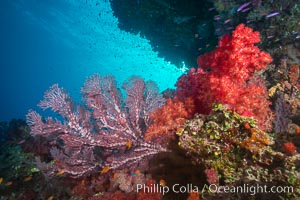 Dendronephthya soft corals and alcyonacea gorgonian sea fans, on pristine south Pacific coral reef, Fiji, Dendronephthya, Gorgonacea, Namena Marine Reserve, Namena Island
