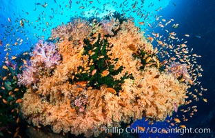 Colorful Dendronephthya soft corals and schooling Anthias fish on coral reef, Fiji. Vatu I Ra Passage, Bligh Waters, Viti Levu  Island, Fiji, Dendronephthya, Pseudanthias, Tubastrea micrantha, natural history stock photograph, photo id 31316