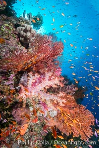 Colorful Dendronephthya soft corals and schooling Anthias fish on coral reef, Fiji, Dendronephthya, Pseudanthias, Vatu I Ra Passage, Bligh Waters, Viti Levu  Island