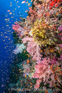 Colorful Dendronephthya soft corals and schooling Anthias fish on coral reef, Fiji, Dendronephthya, Pseudanthias, Crinoidea, Vatu I Ra Passage, Bligh Waters, Viti Levu  Island
