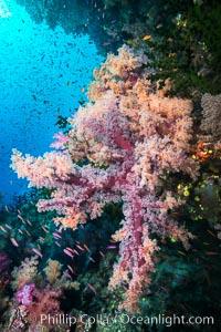 Dendronephthya Soft Corals on a Coral Reef, Fiji, Dendronephthya, Namena Marine Reserve, Namena Island