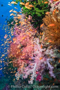 Vibrant Dendronephthya soft corals, green fan coral and schooling Anthias fish on coral reef, Fiji. Vatu I Ra Passage, Bligh Waters, Viti Levu  Island, Fiji, Dendronephthya, Pseudanthias, Tubastrea micrantha, natural history stock photograph, photo id 31352