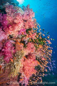 Vibrant Dendronephthya soft corals, green fan coral and schooling Anthias fish on coral reef, Fiji. Vatu I Ra Passage, Bligh Waters, Viti Levu  Island, Fiji, Dendronephthya, Pseudanthias, Tubastrea micrantha, natural history stock photograph, photo id 31354