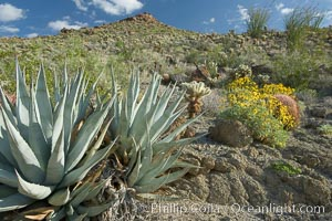 Desert agave, brittlebush and various cacti and wildflowers color the sides of Glorietta Canyon.  Heavy winter rains led to a historic springtime bloom in 2005, carpeting the entire desert in vegetation and color for months, Agave deserti, Encelia farinosa, Anza-Borrego Desert State Park, Anza Borrego, California