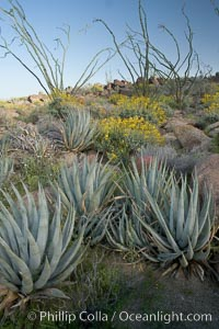 Desert agave, brittlebush, ocotillo and various cacti and wildflowers color the sides of Glorietta Canyon.  Heavy winter rains led to a historic springtime bloom in 2005, carpeting the entire desert in vegetation and color for months, Agave deserti, Encelia farinosa, Fouquieria splendens, Anza-Borrego Desert State Park, Anza Borrego, California
