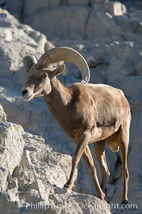 Desert bighorn sheep, male ram.  The desert bighorn sheep occupies dry, rocky mountain ranges in the Mojave and Sonoran desert regions of California, Nevada and Mexico.  The desert bighorn sheep is highly endangered in the United States, having a population of only about 4000 individuals, and is under survival pressure due to habitat loss, disease, over-hunting, competition with livestock, and human encroachment., Ovis canadensis nelsoni,  Copyright Phillip Colla, image #14651, all rights reserved worldwide.