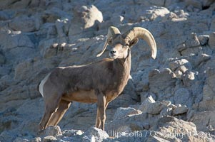Desert bighorn sheep, male ram.  The desert bighorn sheep occupies dry, rocky mountain ranges in the Mojave and Sonoran desert regions of California, Nevada and Mexico.  The desert bighorn sheep is highly endangered in the United States, having a population of only about 4000 individuals, and is under survival pressure due to habitat loss, disease, over-hunting, competition with livestock, and human encroachment., Ovis canadensis nelsoni,  Copyright Phillip Colla, image #14653, all rights reserved worldwide.