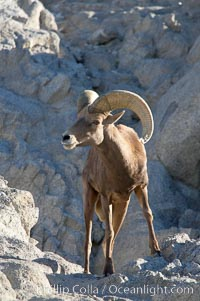 Desert bighorn sheep, male ram.  The desert bighorn sheep occupies dry, rocky mountain ranges in the Mojave and Sonoran desert regions of California, Nevada and Mexico.  The desert bighorn sheep is highly endangered in the United States, having a population of only about 4000 individuals, and is under survival pressure due to habitat loss, disease, over-hunting, competition with livestock, and human encroachment, Ovis canadensis nelsoni