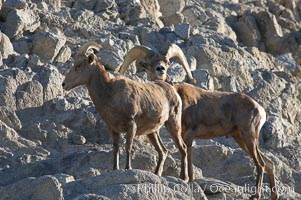 Desert bighorn sheep, male ram and female ewe.  The desert bighorn sheep occupies dry, rocky mountain ranges in the Mojave and Sonoran desert regions of California, Nevada and Mexico.  The desert bighorn sheep is highly endangered in the United States, having a population of only about 4000 individuals, and is under survival pressure due to habitat loss, disease, over-hunting, competition with livestock, and human encroachment, Ovis canadensis nelsoni