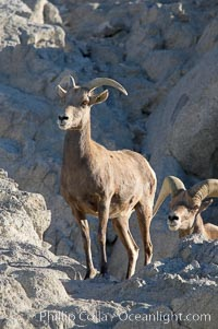Desert bighorn sheep, female ewe.  The desert bighorn sheep occupies dry, rocky mountain ranges in the Mojave and Sonoran desert regions of California, Nevada and Mexico.  The desert bighorn sheep is highly endangered in the United States, having a population of only about 4000 individuals, and is under survival pressure due to habitat loss, disease, over-hunting, competition with livestock, and human encroachment, Ovis canadensis nelsoni