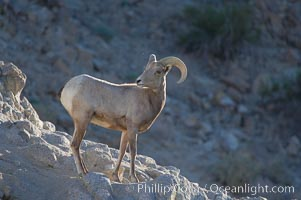 Desert bighorn sheep, young/immature male ram.  The desert bighorn sheep occupies dry, rocky mountain ranges in the Mojave and Sonoran desert regions of California, Nevada and Mexico.  The desert bighorn sheep is highly endangered in the United States, having a population of only about 4000 individuals, and is under survival pressure due to habitat loss, disease, over-hunting, competition with livestock, and human encroachment, Ovis canadensis nelsoni