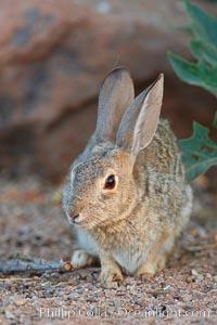 Desert cottontail, or Audubon's cottontail rabbit, Sylvilagus audubonii, Amado, Arizona