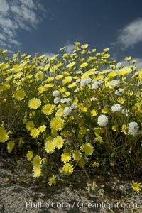 Desert dandelion (yellow) and Fremont pincushion (white) in bloom on the floor of the Anza Borrego valley.  Heavy winter rains led to a historic springtime bloom in 2005, carpeting the entire desert in vegetation and color for months, Malacothrix glabrata, Chaenactis fremontii, Anza-Borrego Desert State Park, Borrego Springs, California