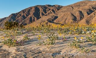 Desert Gold Wildflowers Spring Bloom in Anza-Borrego, Geraea canescens, Anza-Borrego Desert State Park, Borrego Springs, California