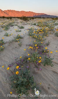 Desert Gold Wildflowers Spring Bloom in Anza-Borrego. Anza-Borrego Desert State Park, Borrego Springs, California, USA, Geraea canescens, natural history stock photograph, photo id 30535