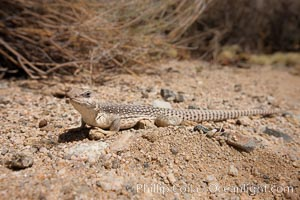 Image 26769, Desert iguana, one of the most common lizards of the Sonoran and Mojave deserts of the southwestern United States and northwestern Mexico. Joshua Tree National Park, California, USA, Dipsosaurus dorsalis