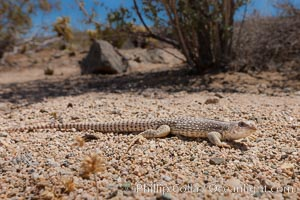 Desert iguana one of the most common lizards of the Sonoran and Mojave deserts of the southwestern United States and northwestern Mexico. Image ID 26774 & Joshua Tree National Park Photos Stock Photography of Joshua Tree ...