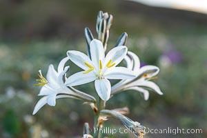 Desert Lily in bloom, Anza Borrego Desert State Park, Anza-Borrego Desert State Park, Borrego Springs, California