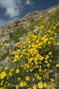 Clusters of desert poppy climb the steep sides of the Borrego Valley. Heavy winter rains led to a historic springtime bloom in 2005, carpeting the entire desert in vegetation and color for months, Eschscholzia parishii, Anza-Borrego Desert State Park, Borrego Springs, California